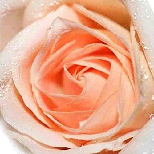 50 graines rares arc-en-graines Rose Fleurs d'amant coloré jardin des plantes rares Rainbow Rose Graines de fleurs orange 2017