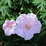 Grüner Garten Shop Blut- Storchschnabel, Geranium sanguineum 'Apfelblüte', zartrosa, Staude im 0,5 Liter Topf