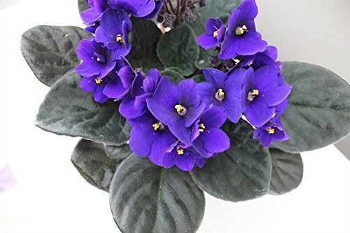 blue-or-purple-african-violet-ideal-houseplant-gift-pack-and-fast-delivery-full-of-flowers-and-will-