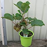 #2: Kiwi Fruit Seeds Sweet Delicious Fruit Home/Garden 20 Seeds Packet