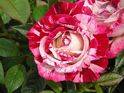 STRAWBERRY FAYRE   4lt Potted Patio Garden Rose Bush   Red/Cream Stripe