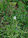 Echtes Bohnenkraut (Satureja hortensis) Sommerbohnenkraut Gartenbohnenkraut