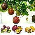 Keptei Samenhaus- 20 Korn Maracuja Passionsfrucht Samen (Passiflora edulis) Obstpflanze Granadilla Seed mehrjaehrig schmeckt gut von Keptei bei Du und dein Garten