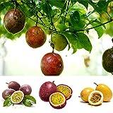 Adolenb Jardin- Graines de fruit de la passion Plante vivace de fruit vivace de graine de fruit organique de graine de fruit pour le balcon, ferme 20PCS