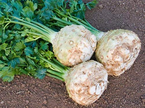 Portal Cool Samen Sellerie-Wurzel Edward Gemüse Bio-Heirloom Russian Ukraine