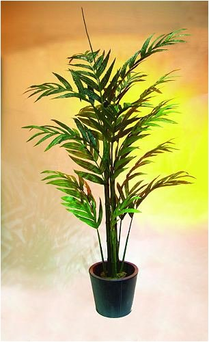 Areca Palme mit großen Wedeln 230cm
