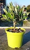 Olivenbaum - Olea Europea Stämmchen 20 cm Formgehölz