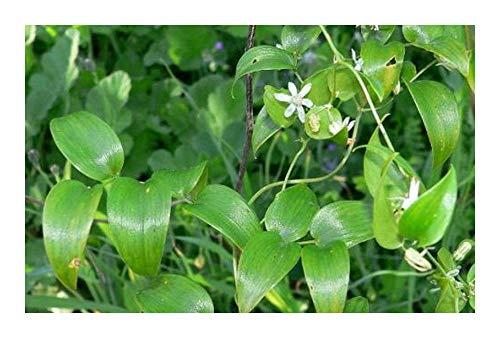 Asparagus asparagoides Smilax – syn: Myrsiphyllum asparagoides – 10 Samen