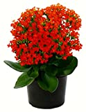 #3: kalanchoe red flower live plant
