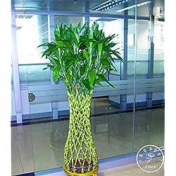 ! Promoción de bambú de la suerte semillas en maceta Balcón Radiación Absorción La siembra es simple - 100 semillas / Paquete, # 5IDR55