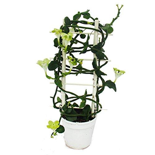 kletternde-leuchterblume-ceropegia-sandersonii-12cm-topf