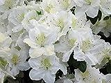 Japanische Azalee Maischnee Rhododendron weiß blühend Lieferhöhe 30-40 cm im Topf