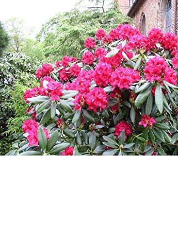 Inkarho-Alpenrose Pflanzabstand ca. 60 - 80 cm