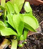 Dionaea muscipula var. heterophylla upright - dionea atrapamoscas o Venus atrapamoscas - 5 semillas