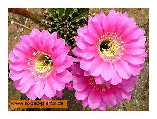 Echinopsis species (pink) - syn: Trichocereus species pink - 50 graines