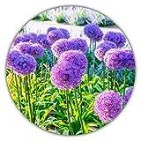 Ail géant / ail d'ornement (Allium giganteum) / env. 50 graines / hauteur des plants de 80 à 150cm / résiste au gel / vivace