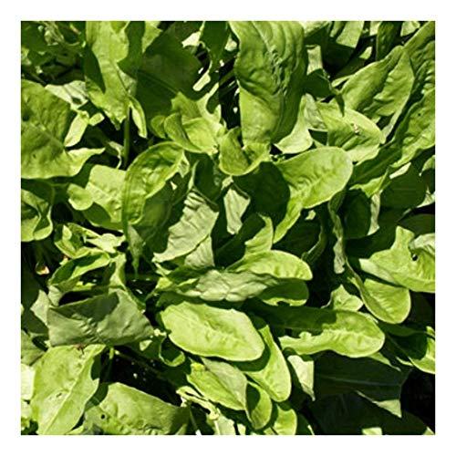 Sauerampfer - Rumex acetosa - 500 Samen
