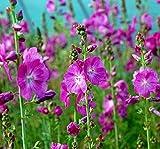 Prärie Malve Partygirl - Sidalcea malviflora