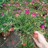 prime vista 3: Portulaca Samen, Moss-rose Portulak Zimmerpflanzen Doppelblumensamen Balkon & Hof Bonsai Samen Die Angehende Rate 95% 120 Pc 3