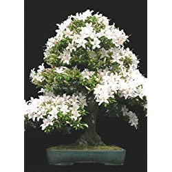 (Prunus mahalep) - 30 semillas