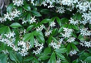 Rincospermum falso gelsomino pianta in vaso di for Falso gelsomino in vaso