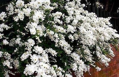 exochorda-x-macrantha-the-bride-pearl-bush-plant-in-9cm-pot