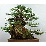 Sequoia sempervirens - - 20 semillas
