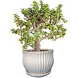 The Bonsai Plants Jade Bonsai Plant with Beautiful White Ceramic Pot
