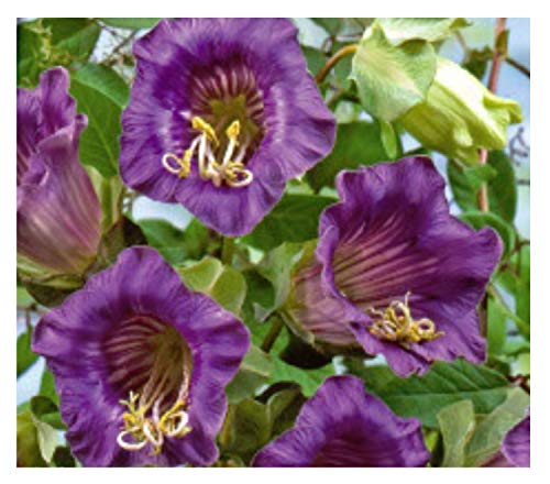27x Glockenwinde Blue Bells, Violet-Glockenrebe Samen Blumen Garten K44