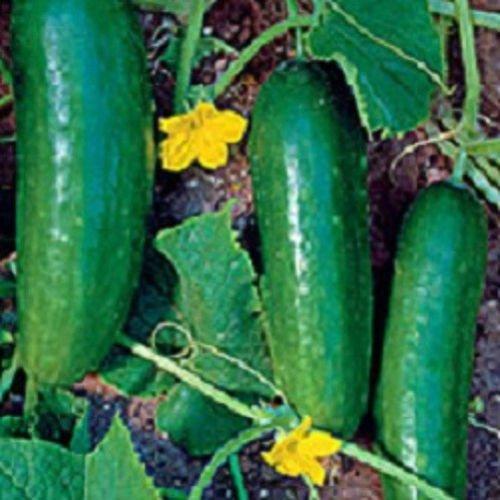 200 Ashley Concombre Seeds 65 jours Graines Jardin