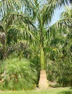 Königspalme, kubanisch - Roystonea regia - Samen