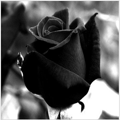 600 graines foncé noir chinois Rose Graines Votre Plant Lover pour Sweet Bonsai plantes Semences pour la maison et le jardin