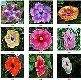 Garten Samen, riesiger Hibiscus, sehr selten, in Regenbogenfarben, 100 Samen(Weiß)
