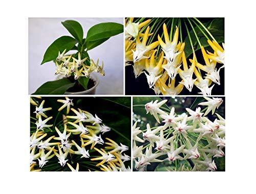 15 fiori di Cera Hoya razzo semi fiori di pianta da giardino camera #347