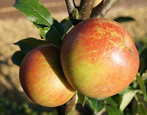 Apfelbaum Cox Orange, Winterapfel, Buschbaum, Topfballen, 120 - 150cm