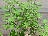 #5: Seedlings india Rama Tulsi Herbal & Medicinal live plant