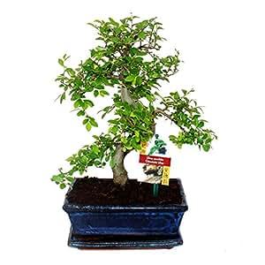 Bonsai orme de chine ulmus parviflora 8 ans for Mobiliere significato