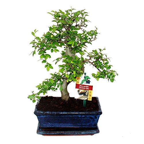 Bonsai chinesische Ulme – Ein Bonsai für kühle Zimmer 2 Bäume