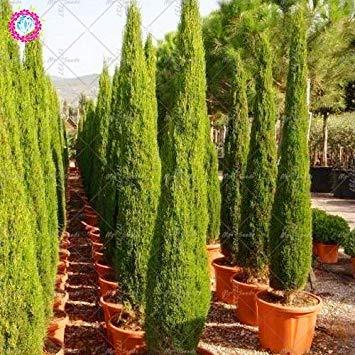 20pcs rara cipresso semi di conifere semi di conifere perenne pianta in vaso da giardino fai da te per la casa