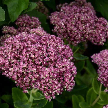 Qulista Samenhaus - 50pcs Rarität Hohe Fetthenne Herbstfreude purpurrot. Blühstauden Blumensamen winterhart mehrjährig