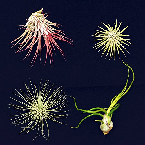 4-different-tillandsias-air-plants