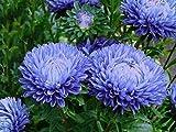 Aster peonia blu - semi