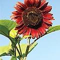 Yukio Samenhhaus - 50 Stück Raritäten Sonnenblumen Saatgut Farbenpracht Blumenmeer Hohe Riesen bienenfreundlich, ideal für Zaun, Mauer, Beet von Yukio auf Du und dein Garten