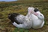Stampa fine art–Tristan Albatross maschi femmine Roditrici bill, Gough Island, South Atlantic by Bentley Global Arts gruppo, Tela, Multi, 35 x 23