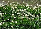 Staude Trifolium repens Samen 2000pcs, Natur Krautigen Weißklee Gras-Samen, Familie Fabaceae Dutch Clover Seeds
