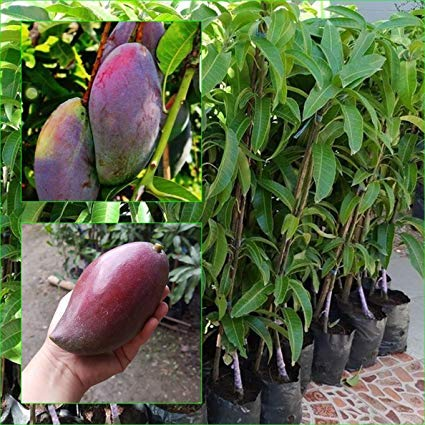 Vamsha Nature Care Grafted Thailand Mango Tree Plant