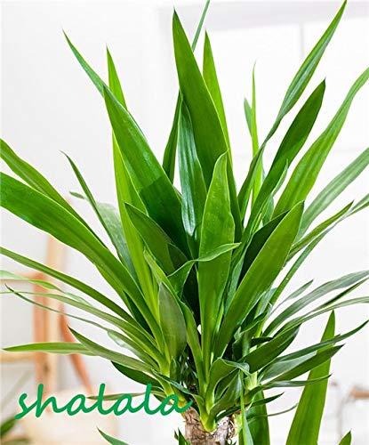 sanhoc 50 pezzi yucca bonsai piante in vaso al coperto vaso bonsai alta germinazione alto-garde bonsai evergreen anti-radiazioni: 5