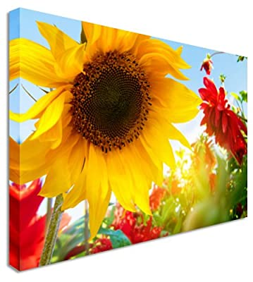 Sunflower Yellow & Red - Farm Garden Floral Flower Canvas Wall Art Picture 12x16 inches produced by Art Okay - quick delivery from UK.