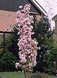 Japanische Säulenzierkirsche weiß-rosa blühend. 1 Pflanze - zu dem Artikel bekommen Sie gratis ein Paar Handschuhe für die Gartenarbeit dazu