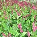 lichtnelke - Kerzen-Knöterich (Polygonum amplexicaule TAURUS) von Lichtnelke Pflanzenversand - Du und dein Garten